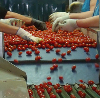 Packing tomatoes in Spain