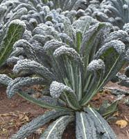 044 black cabbage