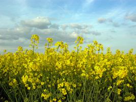 053 rapeseed crop