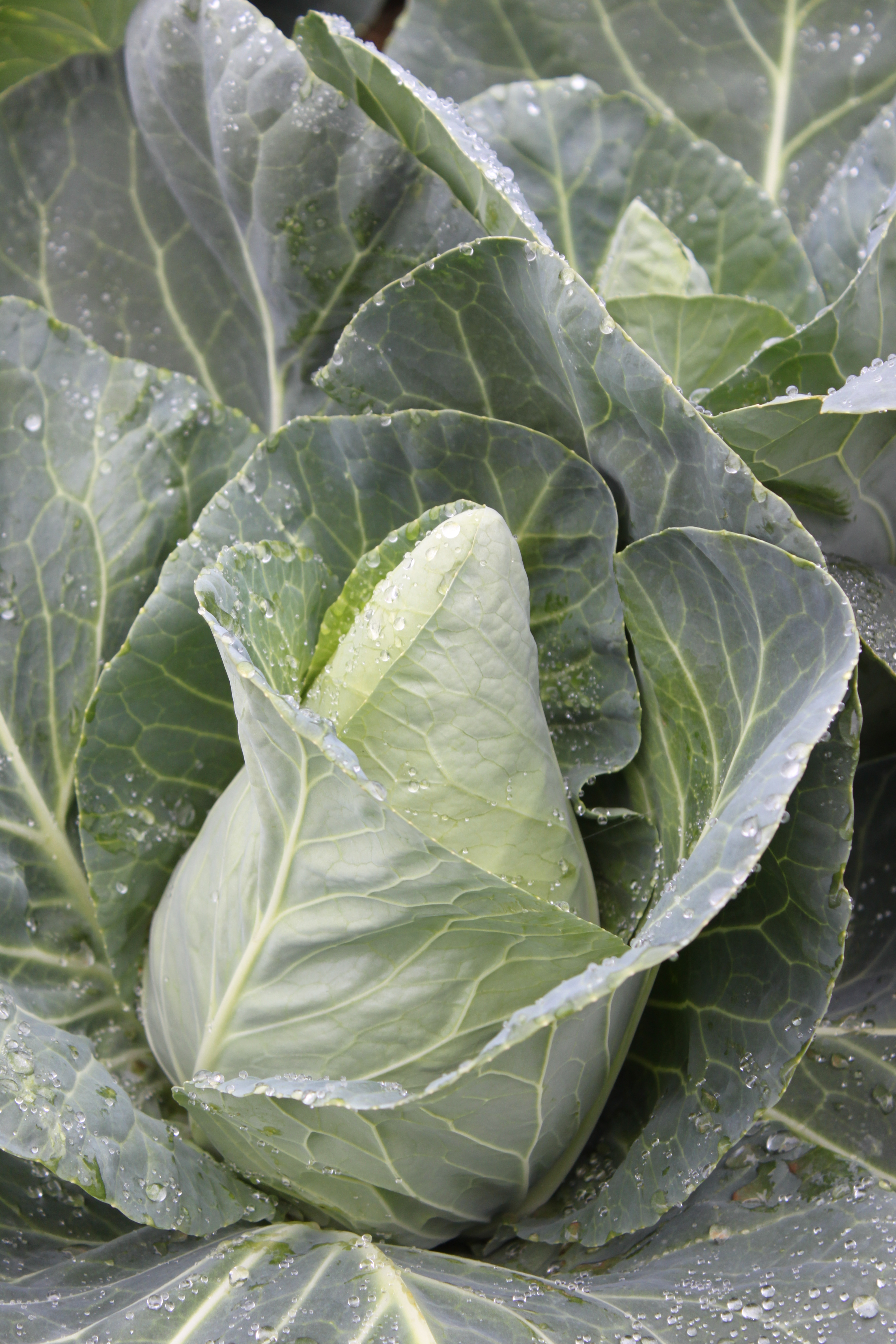 Caraflex F1 pointed cabbage
