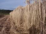 Miscanthus crop in Shropshire